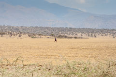 Maasai in open land. The Maasai (sometimes spelled Masai or Masaai) are a Nilotic ethnic group of semi-nomadic people located in Kenya and northern Tanzania Royalty Free Stock Image