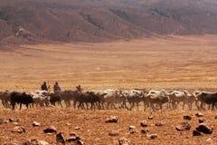 Maasai plemię i ich krowy Obrazy Royalty Free