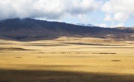 Maasai que reune o gado em Ngorongoro Fotografia de Stock Royalty Free