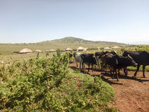 Maasi cows on dirt road, Ngorongoro Conservation Area, Tanzania Stock Photography