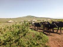 Maasi krowy na drodze gruntowej, Ngorongoro konserwaci teren, Tanzania Fotografia Stock
