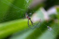 Mabel果树园蜘蛛 免版税图库摄影
