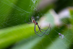 Mabel Orchard Spider Royalty Free Stock Photography