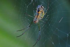 Mabel sadu pająk zdjęcia royalty free