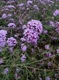 MaBianCao(Verbena). Verbena (Latin name: Verbena officinalis L.), erect perennial herb, up to 120 cm, base woody, single opposite, ovate to long oval, both sides Royalty Free Stock Images