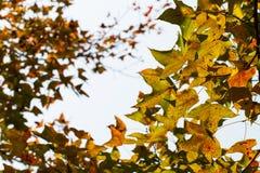 Mable czerwony liść lubi latającego ptaka Obrazy Stock
