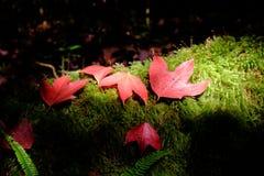 Mable doorbladert de herfst in phu kradueng nationaal park, Loei, Thailand royalty-vrije stock fotografie