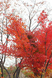 Mable leaves change color autumn in Korea. Royalty Free Stock Photo