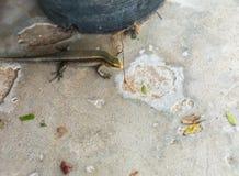 Mabuya коричневого цвета восточного индейца Стоковое Изображение RF
