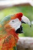 Mac Caw Parrot skrika Royaltyfri Foto