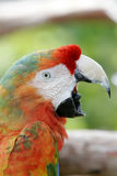 Mac Caw Parrot yelling Royalty Free Stock Photo