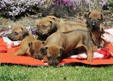 Maca adorável dos cachorrinhos no quintal Fotografia de Stock Royalty Free