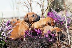 Maca adorável dos cachorrinhos no quintal Imagens de Stock Royalty Free