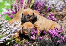 Maca adorável dos cachorrinhos no quintal Foto de Stock Royalty Free