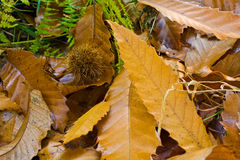 Maca da folha Fotografia de Stock
