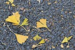 Maca da folha do biloba da nogueira-do-Japão no outono Imagens de Stock