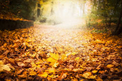A maca da folha do outono no jardim ou no parque, cai fundo exterior da natureza com as folhas caídas coloridas Fotos de Stock