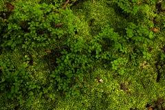Maca do musgo e das folhas dos arandos Fotografia de Stock