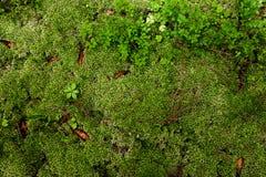 Maca do musgo e das folhas dos arandos fundo da foto na GR Foto de Stock Royalty Free