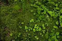 Maca do musgo e das folhas redondas fundo da foto no tom verde Imagens de Stock Royalty Free