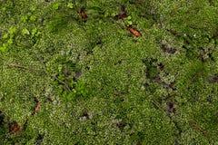 Maca do musgo fundo da foto em tons verdes Imagem de Stock Royalty Free