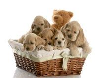Maca dos filhotes de cachorro Foto de Stock