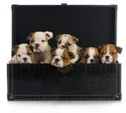 Maca dos filhotes de cachorro Fotografia de Stock Royalty Free