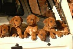 Maca dos filhotes de cachorro Foto de Stock Royalty Free
