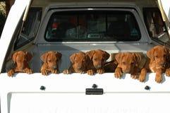Maca dos filhotes de cachorro Imagem de Stock