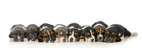 Maca dos filhotes de cachorro Imagens de Stock Royalty Free
