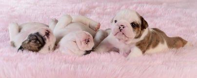 Maca dos filhotes de cachorro Imagem de Stock Royalty Free