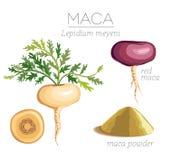 Maca Peruviaanse superfood Royalty-vrije Stock Afbeelding