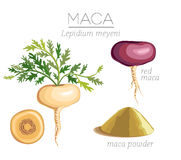 Maca Peruvian superfood Royalty Free Stock Image