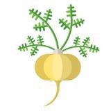 Maca root and leaves vector illustration. Superfood Lepidium meyenii icon. Healthy detox natural product. Flat design organic foo stock illustration