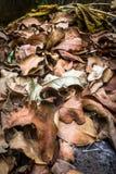 Maca seca da folha Fotografia de Stock Royalty Free