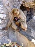 Macac-Affe mit Baby Stockbild