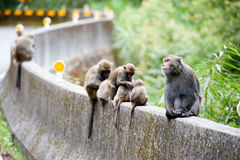 Macaca cyclopis Stock Photos