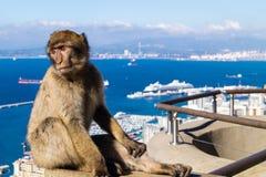 Macaca de sylvanus de singes de Barbarie images libres de droits
