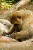 Macaca die vlooien eten Stock Foto's