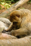 Macaca eating fleas. Macaca searching for fleas in the fur of another one Stock Photos