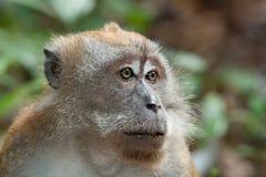 Macaca fascicularis. A Macaca fascicularis, also known as a macaque stock photos