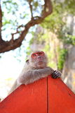 Macaca fascicularis Stock Images