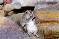 Macaca fascicularis Lizenzfreies Stockbild