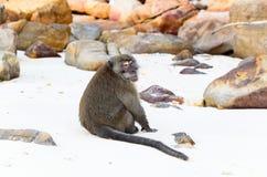 Macaca fascicularis Stockbilder