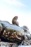 Macaca fascicularis Lizenzfreie Stockbilder
