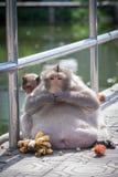 Macaca fascicularis Lizenzfreies Stockfoto