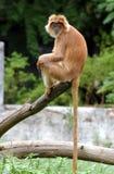 Macaca fascicularis Stockbild