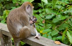 Macaca fascicularis with child Royalty Free Stock Images