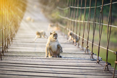 Macaca fascicularis, Crab-eating macaque sitting on wooden Suspe Stock Photos
