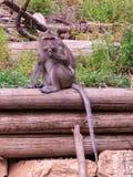 Macaca fascicularis, die auf einer Anmeldung das Gras sitzen Lizenzfreies Stockbild